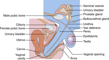 Where does the penis go in vagina