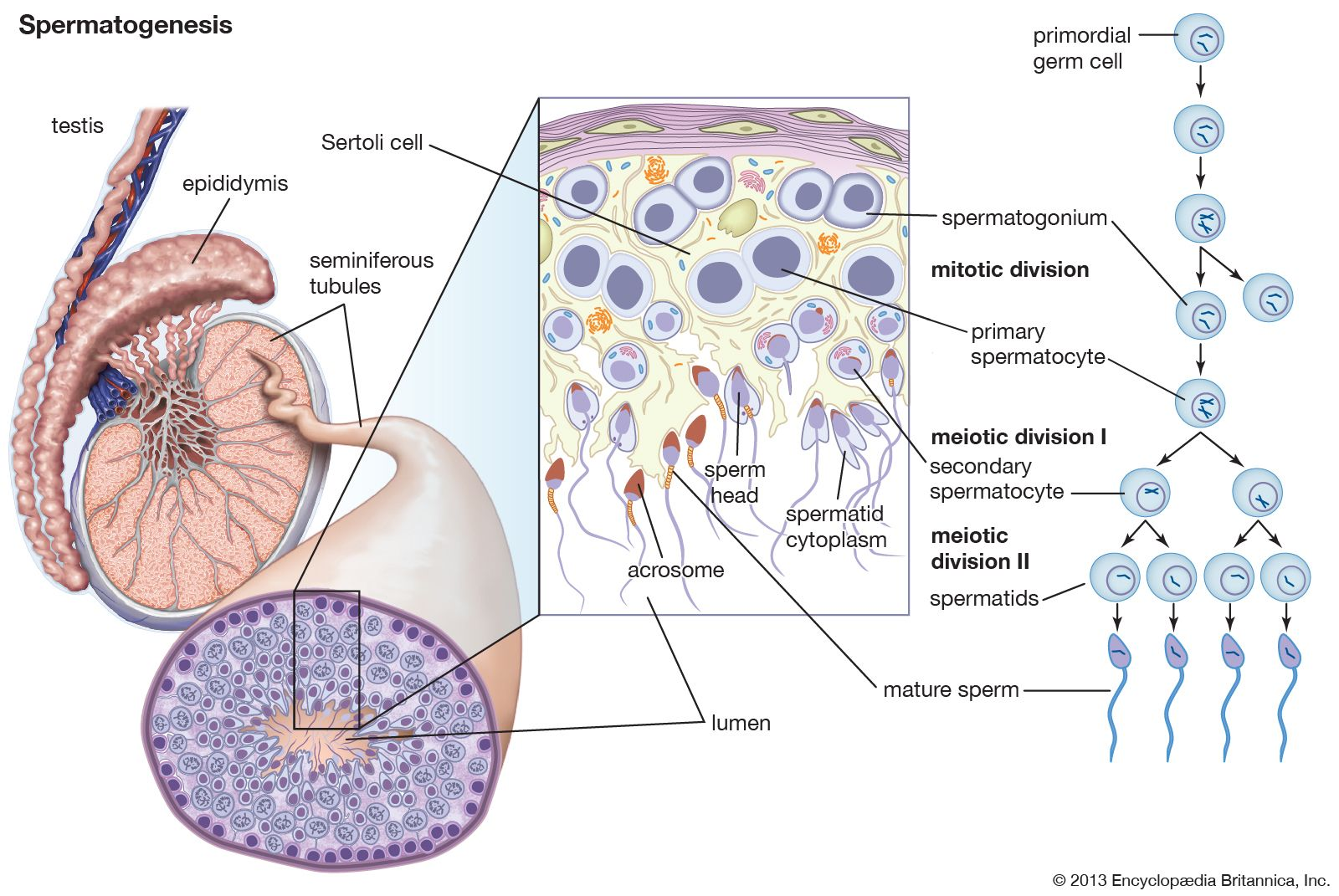 Mature sperm are stored in the epididymis