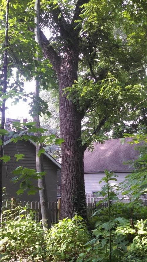 Value of a mature black walnut tree
