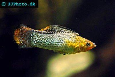 How to sex a platy or guppy