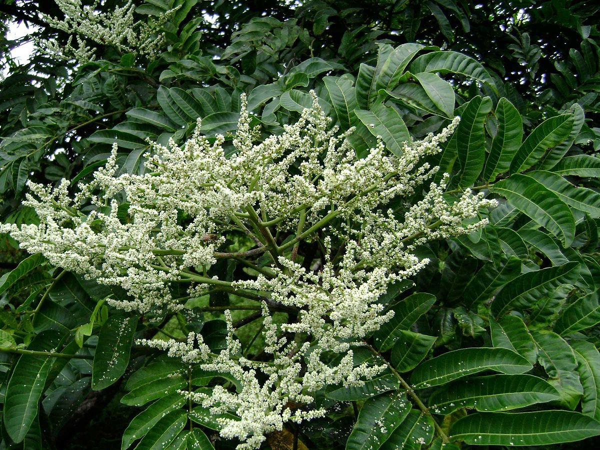 Tropical asian shrub of the genus codariocalyx