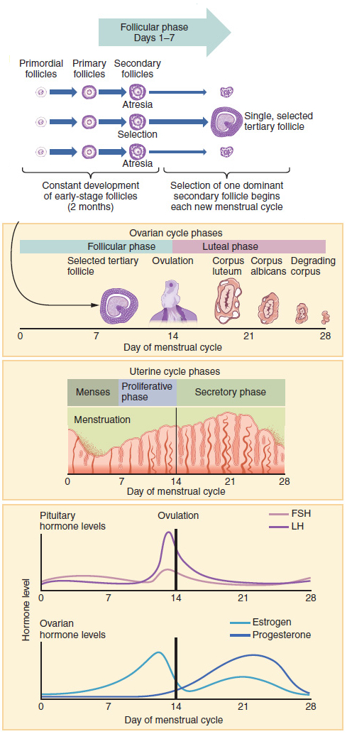 Safe periods for sex in menstal cycle