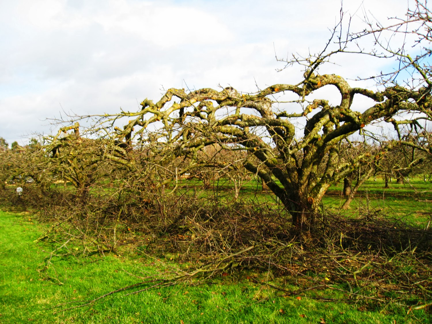 How to prune a mature apple tree